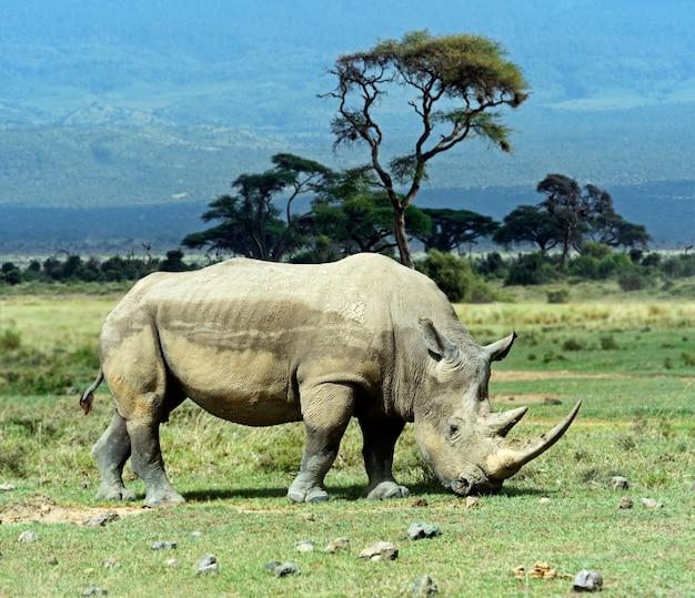 Rhinocéros noir dans le parc national de nakuru au kenya