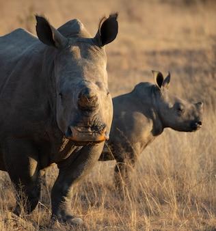 Rhinocéros avec son enfant dans un champ couvert d'herbe sèche sous la lumière du soleil pendant la journée