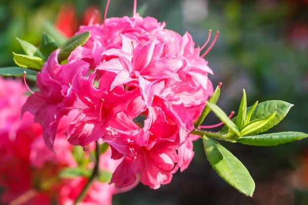 Rhododendron (azalée) fleurs de différentes couleurs dans le jardin de printemps