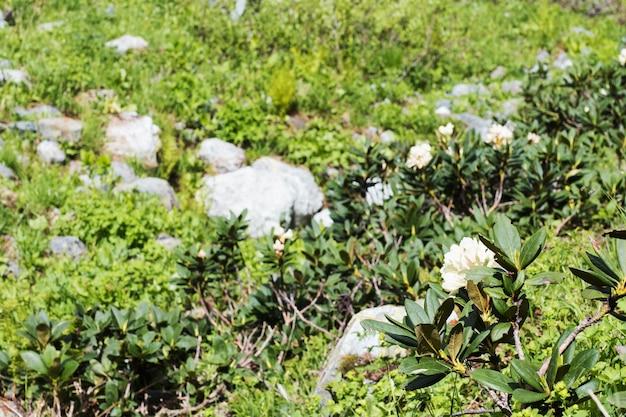 Rhododendron blanc en fleurs dans les montagnes voyage local