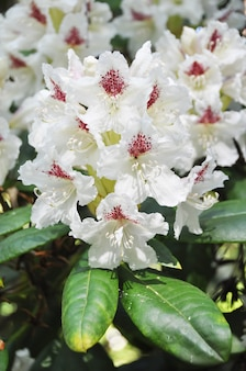 Rhododendron cunningham fleurs blanches. jardin tropical au printemps. floraison des rhododendrons en avril, mai.