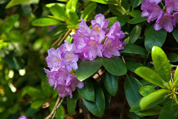 Rhododendron en fleurs violet clair avec des feuilles vertes