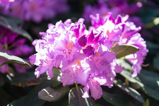 Rhododendron Rose Fleurs En Fleurs Dans Le Jardin De Printemps Close Up Photo Premium