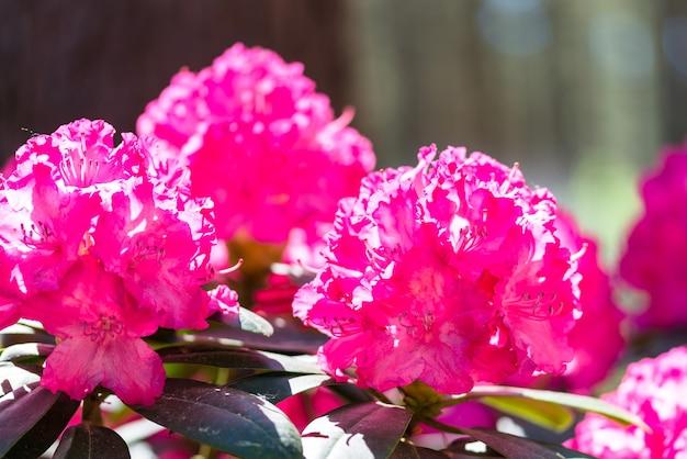 Rhododendron rose fleurs en fleurs dans le jardin de printemps close up