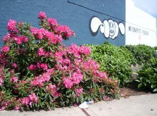 Rhododendron versets graffitis