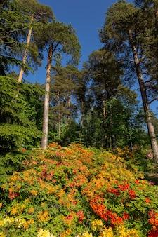 Rhododendrons en fleurs dans la forêt