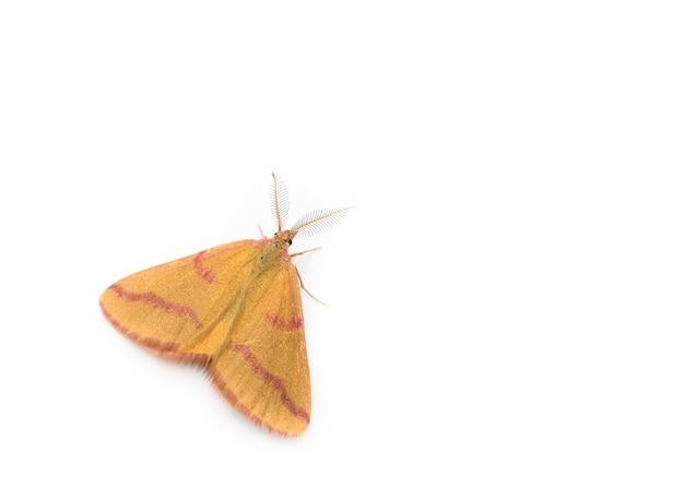 Rhodostrophia calabra, papillon de la famille des geometridae