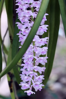 Rhynchostylis retusa (l.) blume, belle fleur d'orchidée.