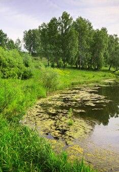 Le rivage d'un lac de forêt réflexions d'herbe épaisse dans les bouleaux verts d'eau