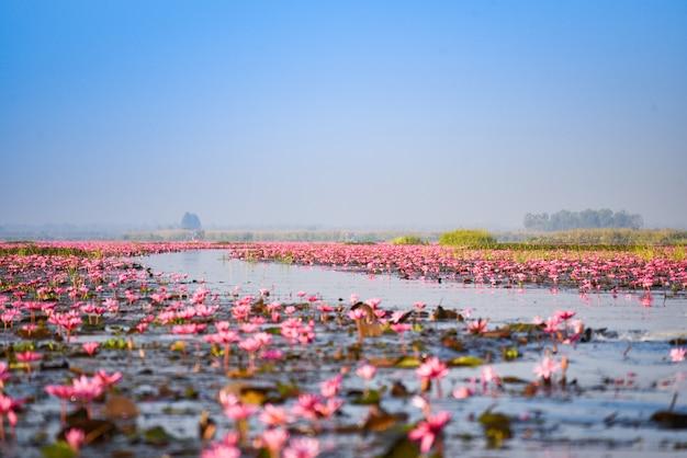Rivière du lac avec champ de lys rouge lotus fleur rose sur le paysage de la nature de l'eau le matin à udon thani en thaïlande