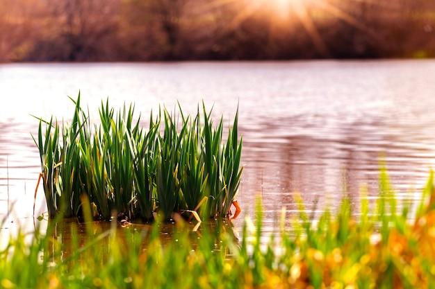 Rivière avec roseaux et herbe sur la rive au coucher du soleil
