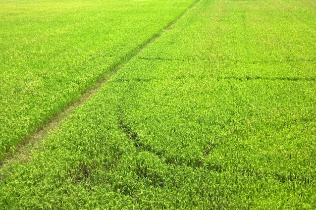 Riz au champ attendant la récolte