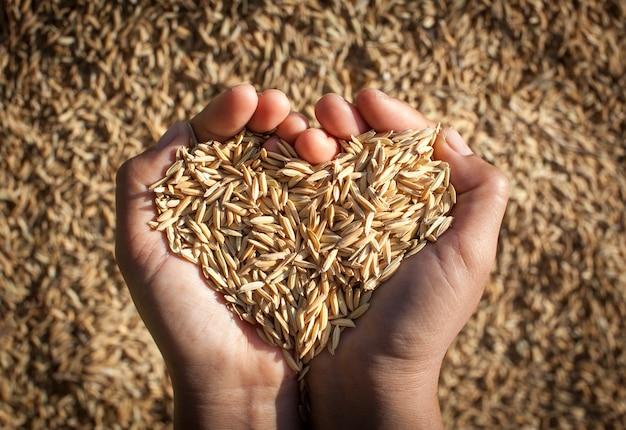 Riz au jasmin du champ entre les mains des agriculteurs