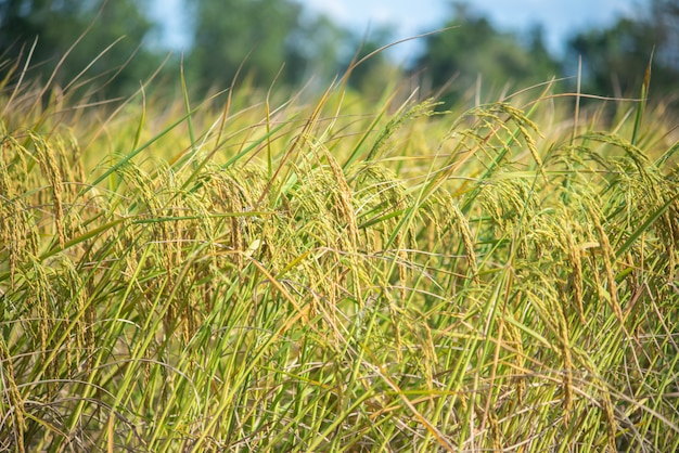 Riz au jasmin à la saison des récoltes.
