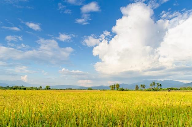 Riz champ vert herbe ciel bleu nuage nuageux
