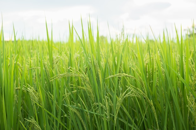 Riz dans le test de conversion sur le terrain au nord de la thaïlande, couleur jaune de riz, gros plan sur le grain, nature abstraite. oreille de riz dans le champ.