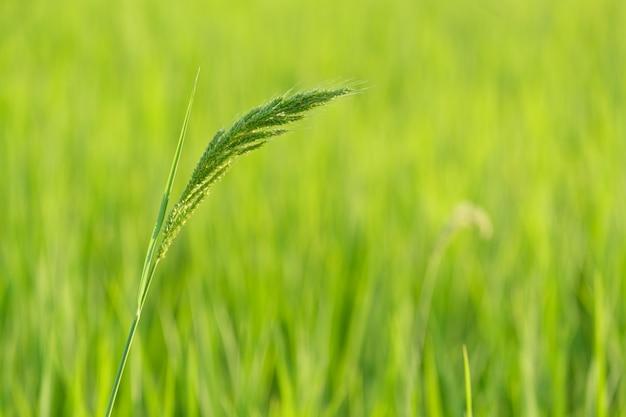 Le riz est la croissance dans les rizières