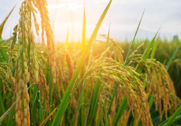 Riz jaune rizière et épis de riz près de l'agriculture traditionnelle au moment de la récolte