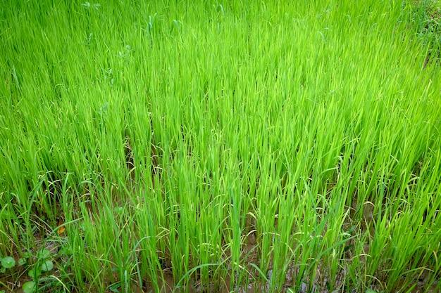 Riz jeune vert poussant dans les rizières.