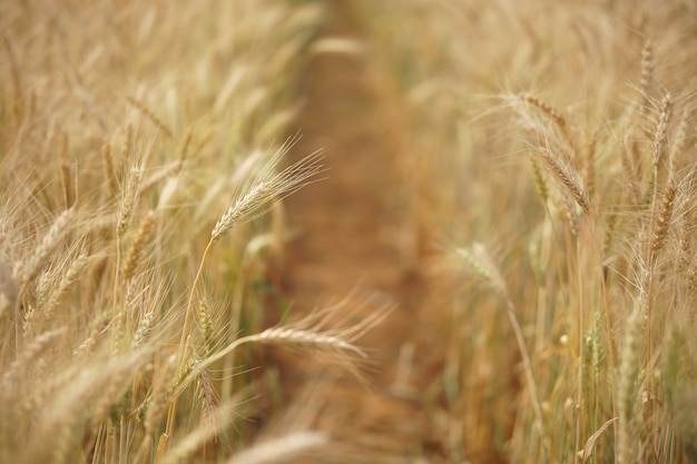 Riz d'orge de blé jaune poussant dans une rizière dans les terres agricoles