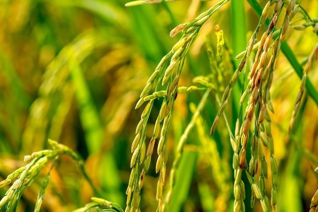 Riz paddy bio, épi de riz paddy, épis de riz au jasmin thaïlandais
