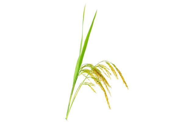 Riz paddy bio d'oreilles de paddy de riz au jasmin thaïlandais isolé sur fond blanc