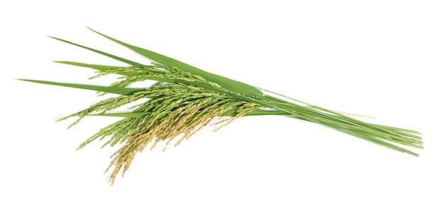 Riz paddy biologique, oreille de paddy, épis de riz au jasmin thaïlandais isolé sur fond blanc