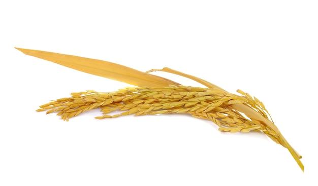 Riz paddy sur blanc. épis de riz paddy