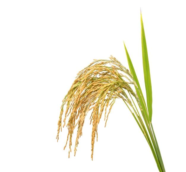 Riz paddy avec lame verte, oreilles de riz au jasmin isolé sur fond blanc.