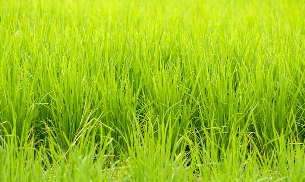 Le riz poussant dans les rizières