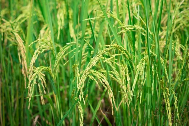 Riz vert dans un champ agricole cultivé début du développement des plantes d'élevage