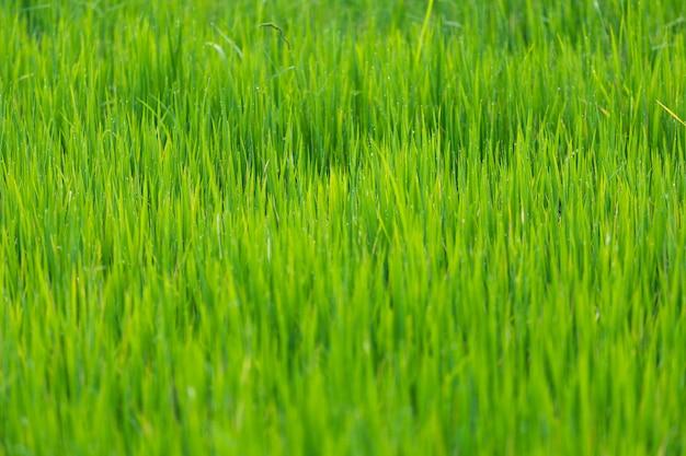Riz vert laisse les champs avec des gouttelettes d'eau en thaïlande. herbe de printemps vert frais. cornfi