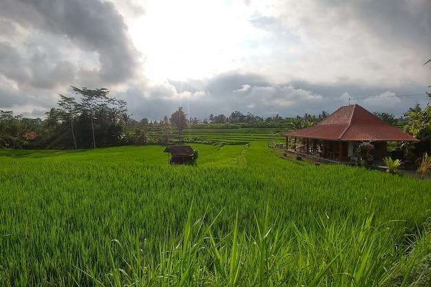Riz vert riche en gradins rizières en terrasses traditionnelles balinaises jungles de maisons en bois