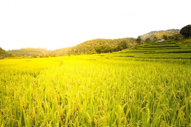 Rizière à chiang mai, thaïlande.