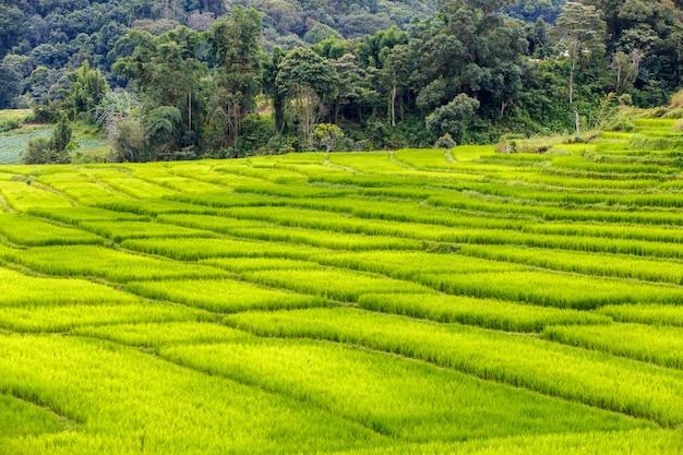 Rizière en terrasses verte à mae klang luang, mae chaem, chiang mai, thaïlande