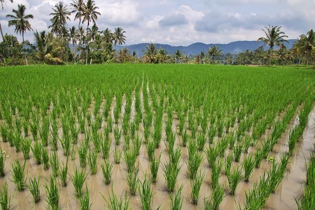 Rizières dans le petit village d'indonésie