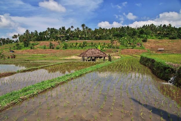 Les rizières en terrasses de bali, indonésie