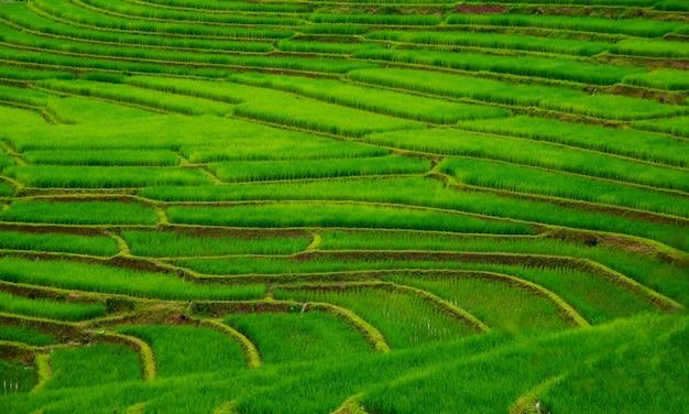Des rizières en terrasses à mae klang luang, chez l'habitant de chiangmai, en thaïlande