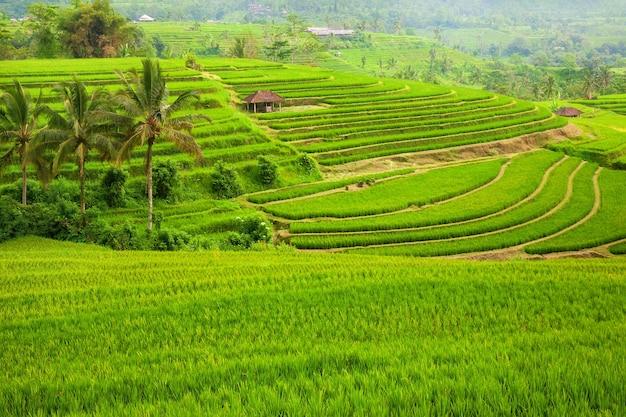 Rizières en terrasses vertes jatiluwih près d'ubud, bali, indonésie