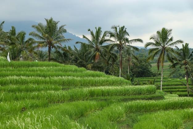 Rizières vertes jatiluwih sur le site du patrimoine de l'île de bali