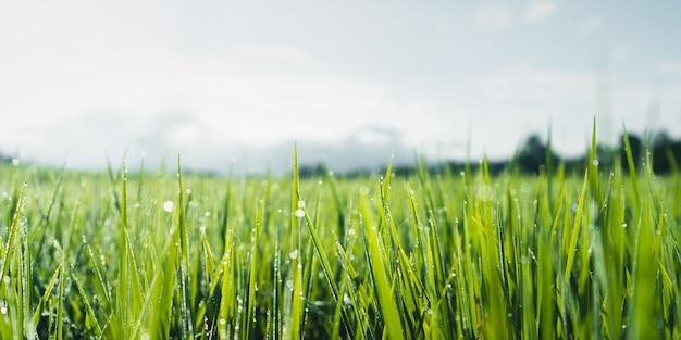 Rizières vertes à la saison des pluies à la campagne