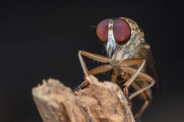 Robberfly avec proie en gros plan photo