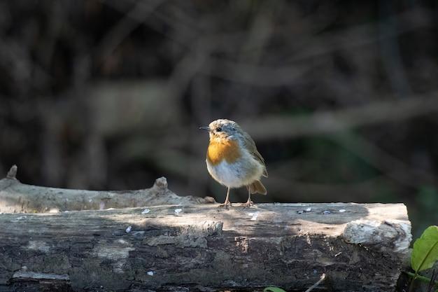 Robin debout sur une bûche au soleil de la fin de l'été