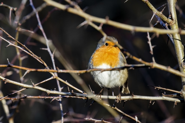 Robin européen assis parmi les fines branches d'un arbre