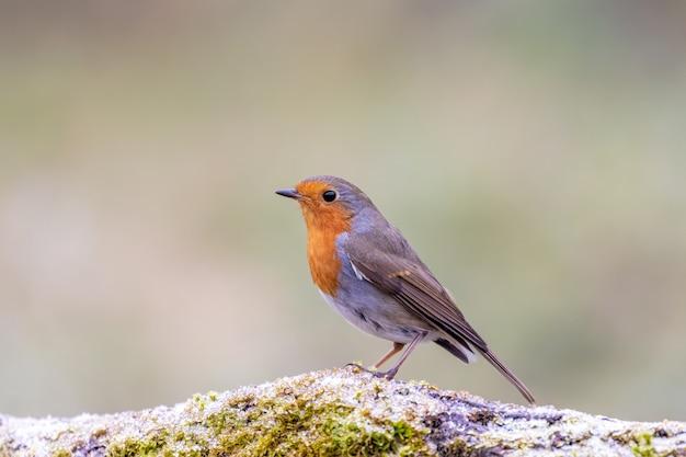 Robin européen sur un journal moussu givré
