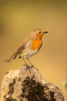 Robin a posé