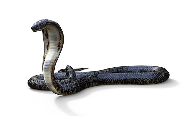 Roi cobra le plus long serpent venimeux du monde isolé sur fond blanc