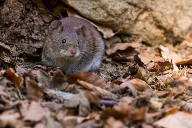 Rongeur et mammifère de rat animal