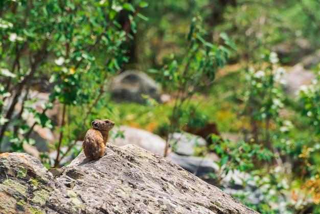Rongeur pika sur des pierres
