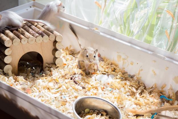 Rongeurs domestiques gerbilles courant autour de leur cage avec de la sciure de bois